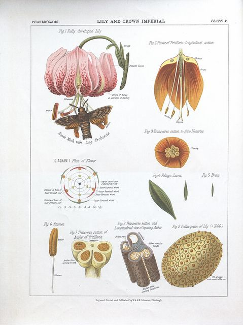 Lily and Crown Imperialby BioDivLibrary on Flickr.  The botanical atlas :. New York :The Century Co.,1883..biodiversitylibrary.org/page/39683066
