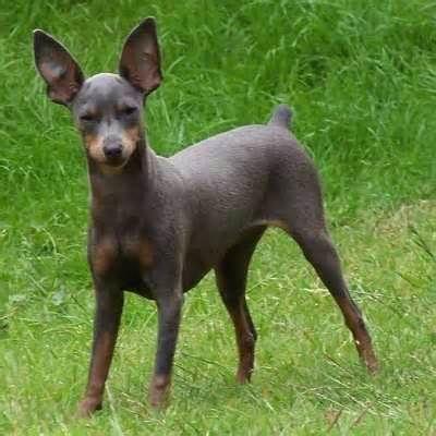Blue Miniature Pinscher Miniature Pinscher Dog Doberman