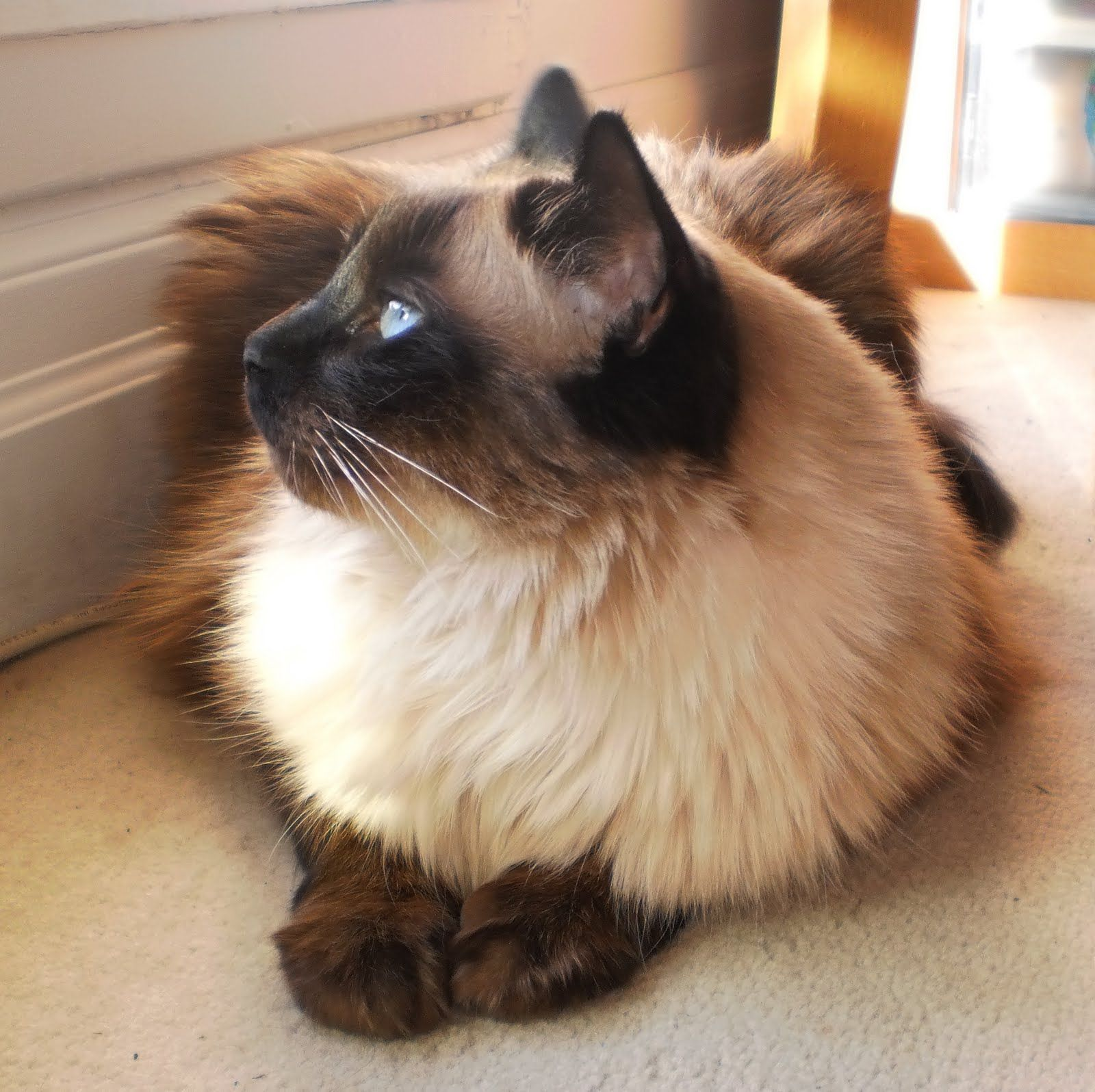 The Traditional Balinese Aka Applehead Balinese Cat Combines The Unique Personality And Intelligence And The Minimal Shedd Balinese Cat Cat Breeds Cute Cats