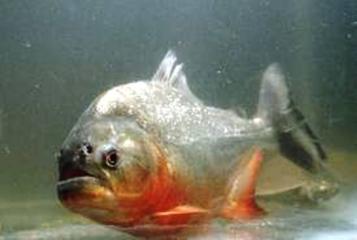 Piranha (Serrasalminae)