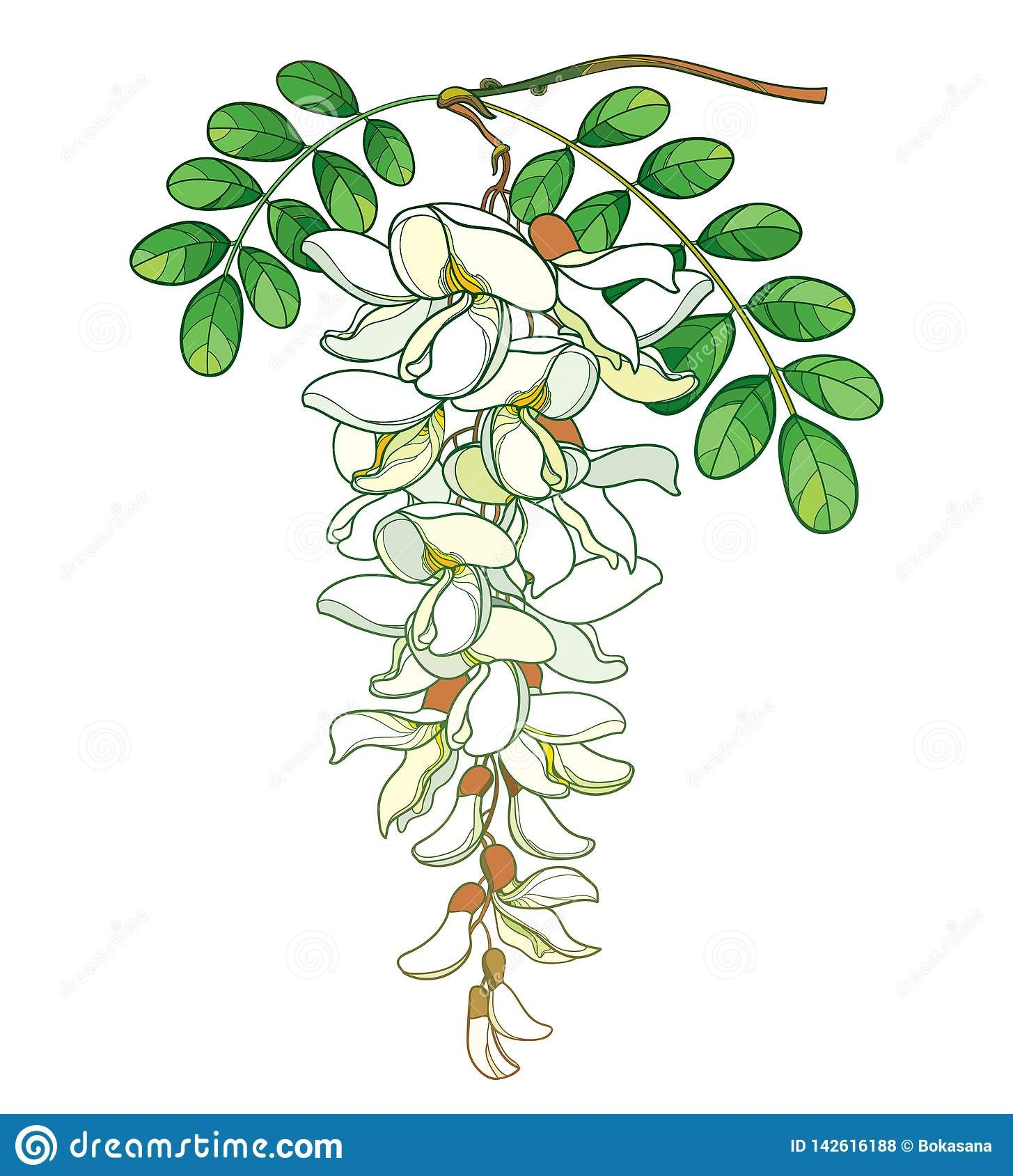 Vector Branch Of Outline Pastel White False Acacia Or Black Locust Or Robinia Flower Bud And Green Leaves I Flower Illustration Plant Symbolism Flower Drawing
