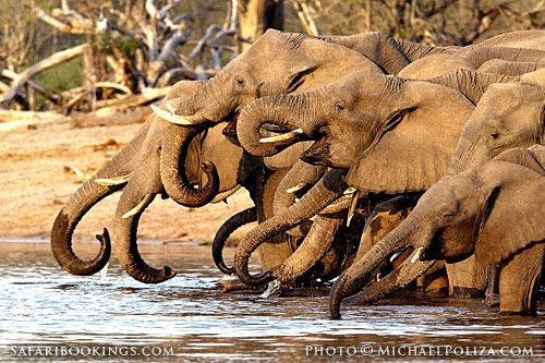 #Elephants drinking @ Linyanti Game Reserve in #Botswana. For a #Linyanti travel guide visit www.safaribookings.com/linyanti with user reviews, photo's and maps!