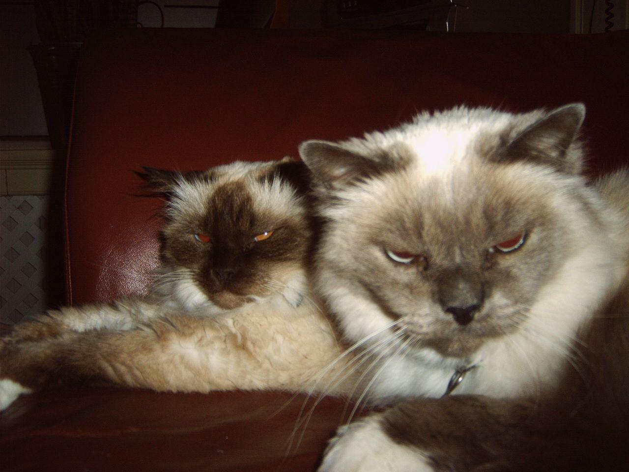 Pasja (achtergrond) en Laila, onze heilige birmanen. Helaas zijn deze lieve katten niet meer.