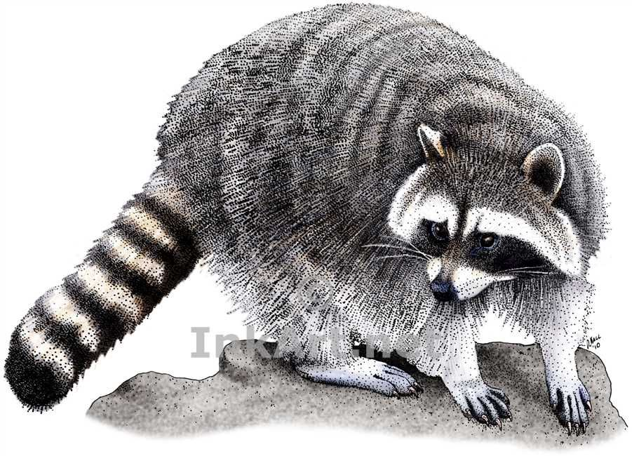 85a41a5f64 line drawing raccoon | Stock Art Drawing of a Northern Raccoon ...