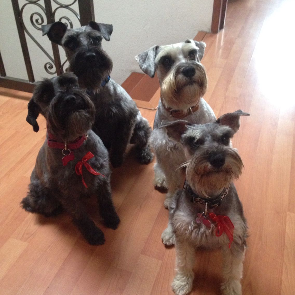 Schnauzer Love Mykids Schnauzer Puppy Baby Dogs Beautiful Dogs