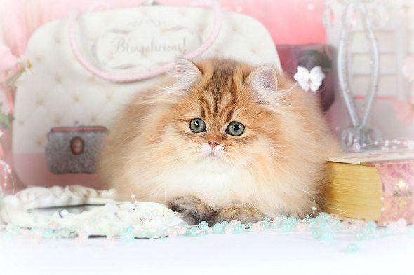 Chinchilla Golden Persian Kitten Cute Cats And Dogs Persian Cats For Sale Persian Kittens