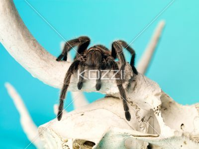 spider on a animal bone. - Close-up shot of a spider sitting on a animal bone.