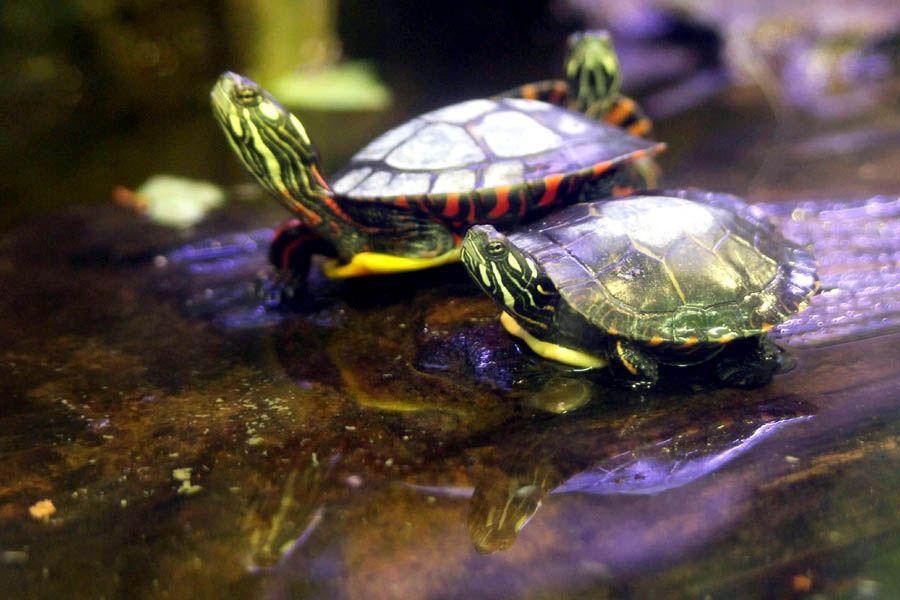 Aquatic Turtles: What is a Basking Area? - PetFoodia.com ...