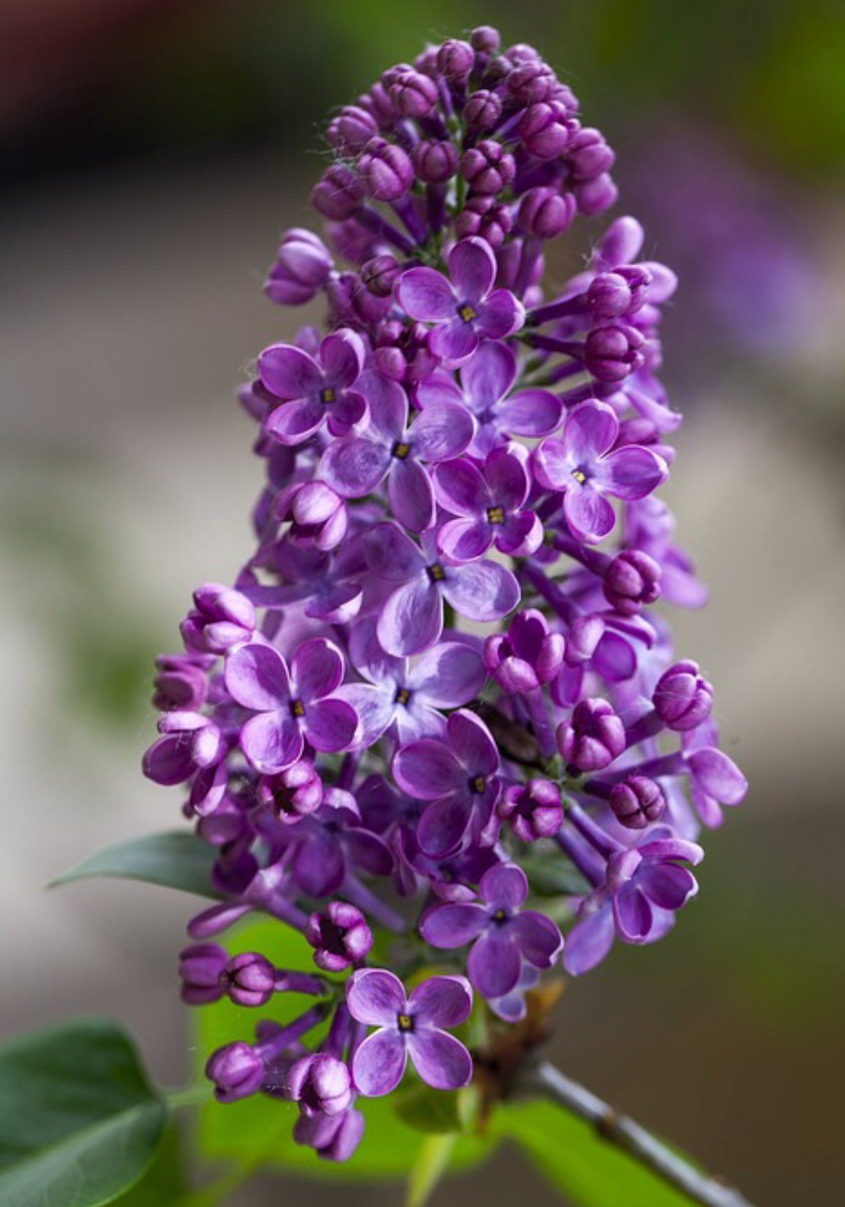 Comment Planter Du Muguet this is my favorite flower, the lilac! (met afbeeldingen