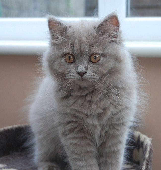 British longhair cat personality