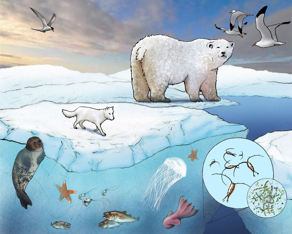 polar ecosystem facts Alaska is home to the entire us population of polar bears  polar bear facts  this is one of the most unique marine ecosystems in the world, home to the.