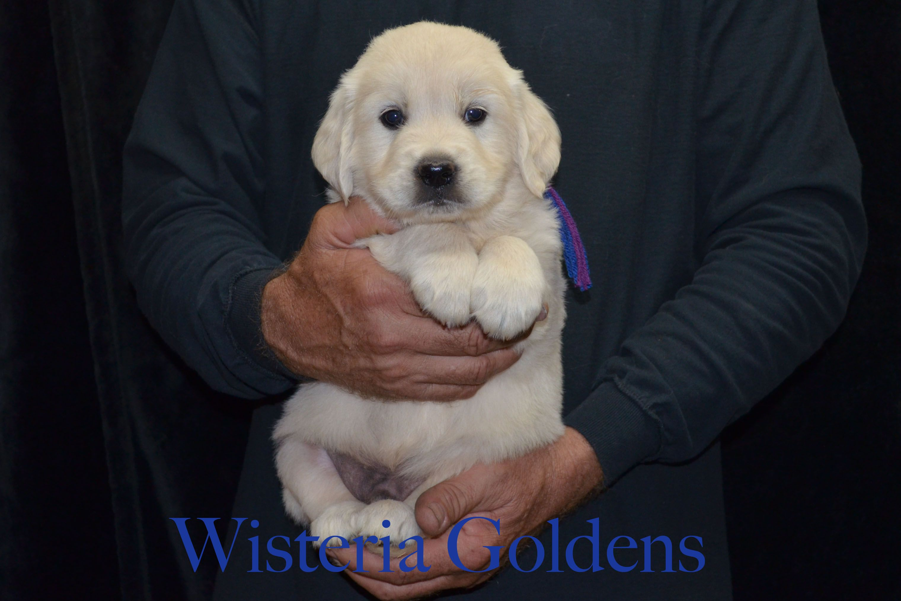 English Cream Puppies Wisconsin 2021
