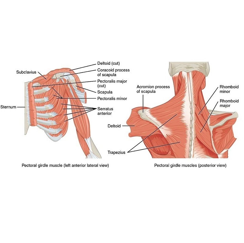 Muscles That Position That Pectoral Girdle Diagram