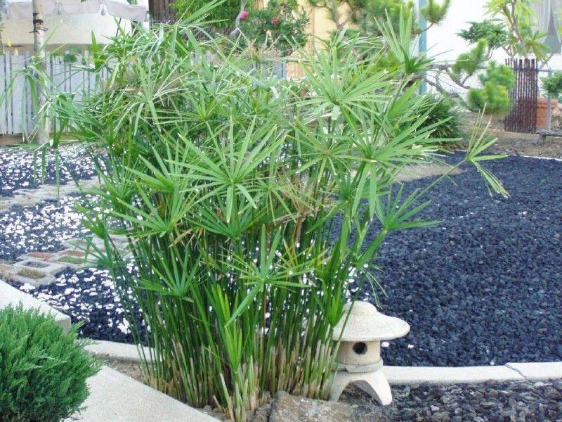 Resultado de imagen de cyperus alternifolius plantas for Cactus exterieur resistant au froid