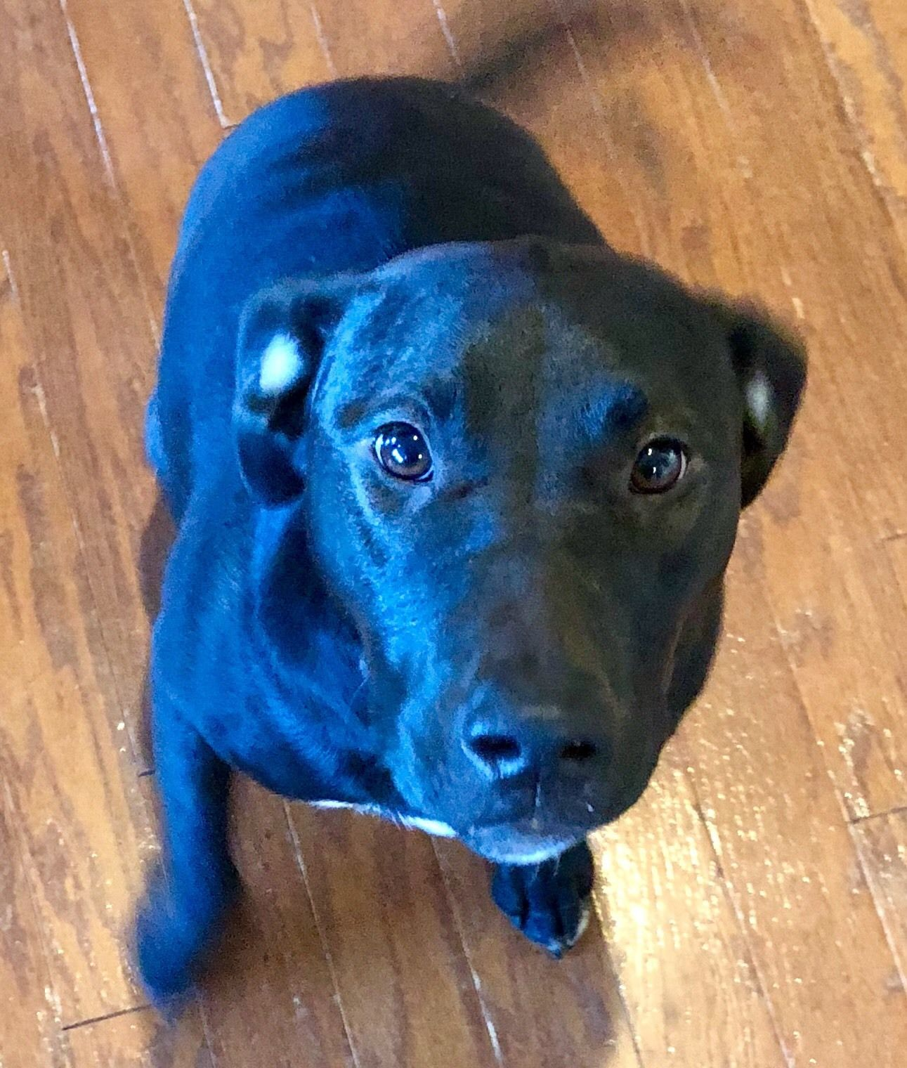 Adopt Bella Fka Harley On Petfinder Harley Labrador Retriever Mix Dogs