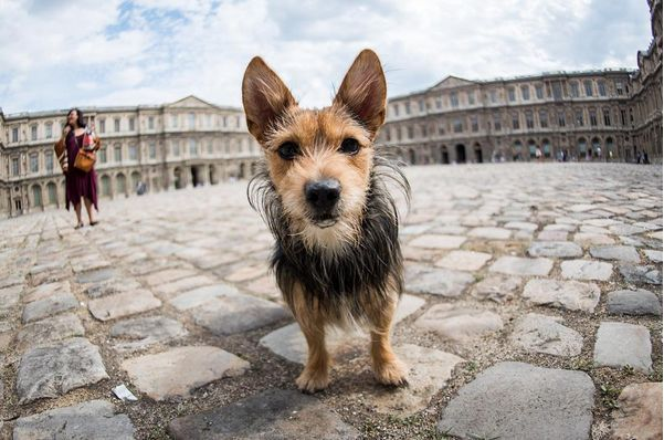 Lucky Yorkshire Terrier Mix 6 Y O Cour Carree Paris France