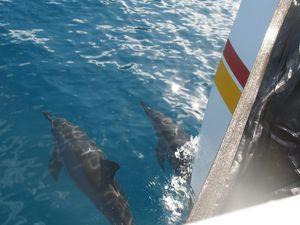 Dolphins swimming by boat, Napali Coast. Photo © Teresa Plowright. - Photo © Teresa Plowright.