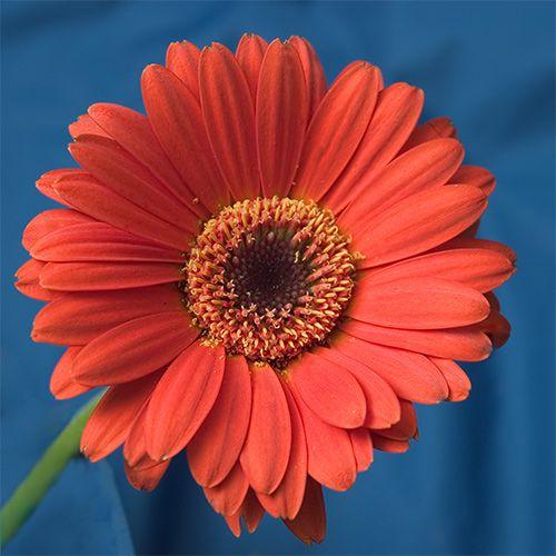 Gerbera My Absolute Favourite Gerbera Flower Gerbera Gerbera Daisy