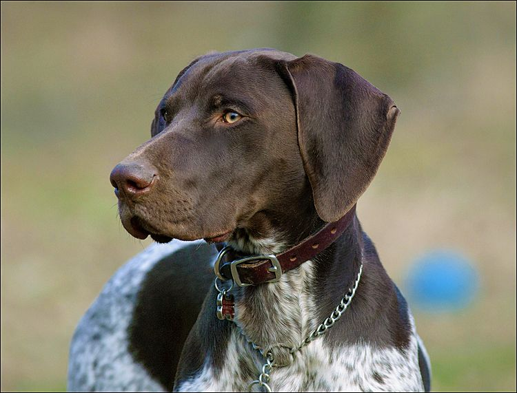 German shorthaired pointer classic look german
