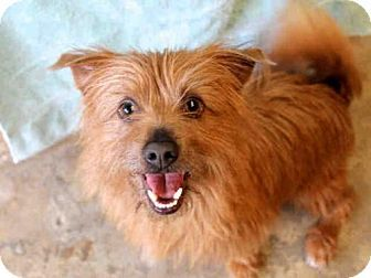 Ojai, CA - Cairn Terrier Mix. Meet SNOWBALL, a dog for adoption. http://www.adoptapet.com/pet/12965396-ojai-california-cairn-terrier-mix