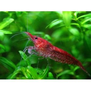 High Quality Red Cherry Shrimps For Sale Cherry Shrimp Red Cherry Shrimp Tropical Fish Aquarium