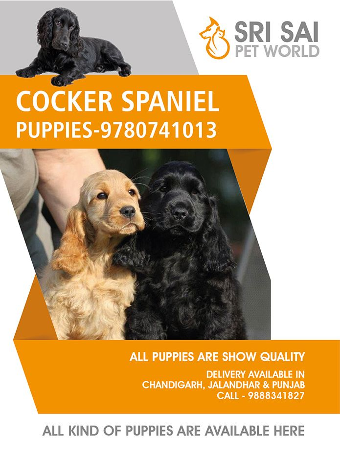 Cocker Spaniel Puppies In Chandigarh And Punjab 9780741013 Colour Black Choclate Show Quality Pup Spaniel Puppies French Bulldog Dog Cocker Spaniel Puppies