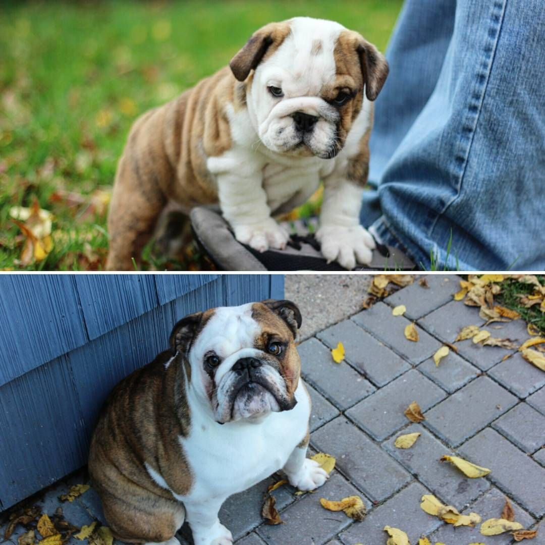 1 Year Difference English Bulldog All Grown Up French Bulldog