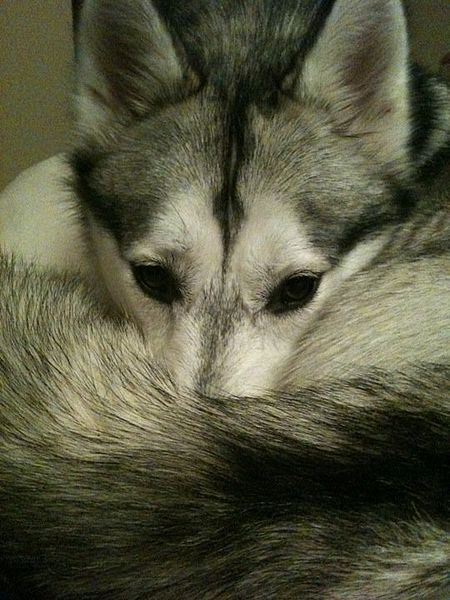 Siberian Husky Using Her Tail To Keep Her Nose Warm On A Cold