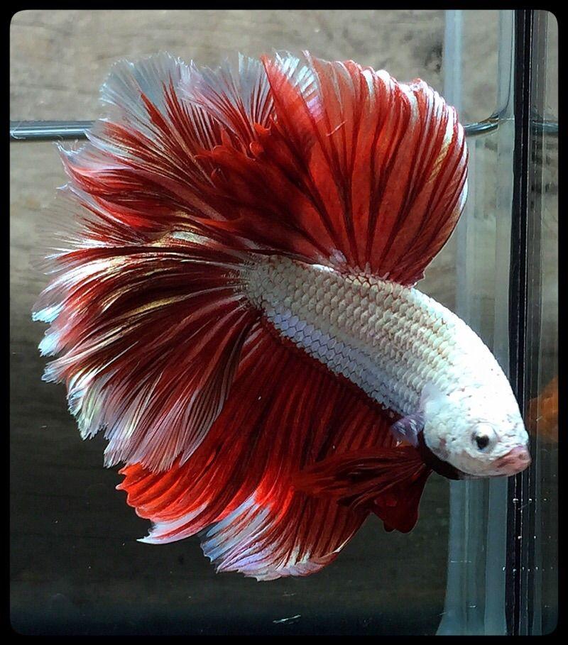 Fwbettashm1443372579 apache red dragons 913 for Prettiest betta fish