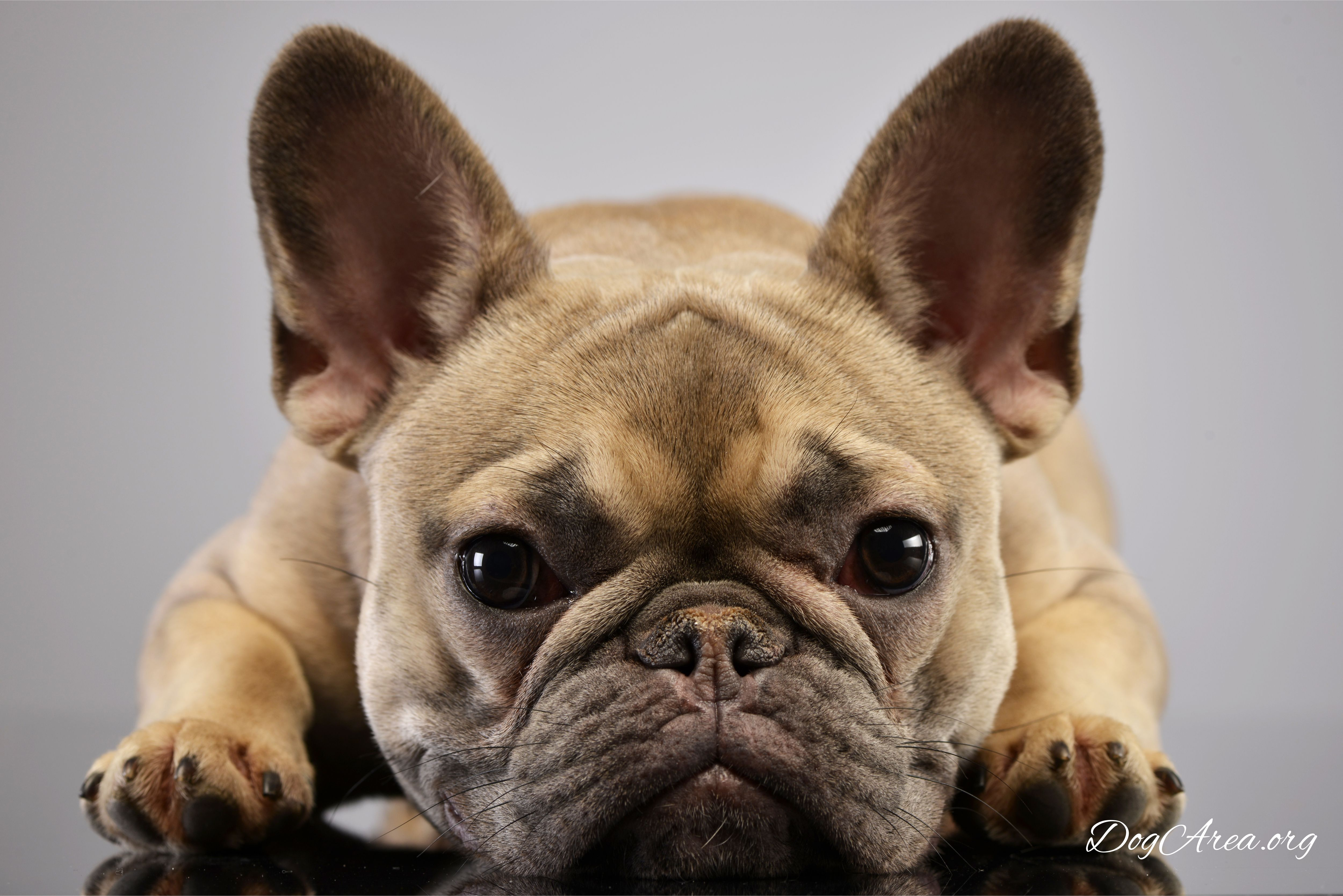 What Is The Best Food For A Gassy French Bulldog In 2020 French