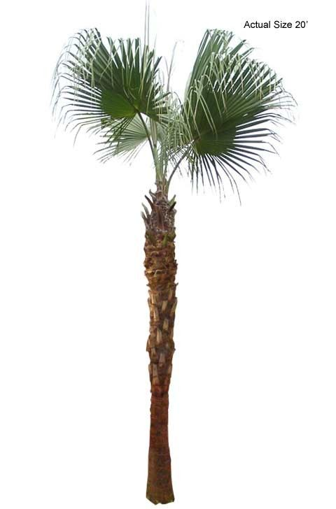 Large Chinese Fan Palm Tree Buy Large Palm Trees and Plants - Buy P