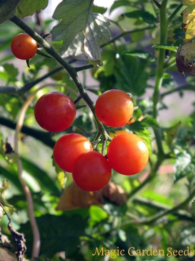 Die Wildtomate 'Rote Murmel' (Solanum pimpinellifolium) ist eine ertragreiche Wildgemüsepflanze, die durch ihren intensiven süß-milden Geschmack überzeugt.