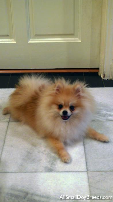All Small Dog Breeds Marsh Pomeranian Small Dogs Pomeranians