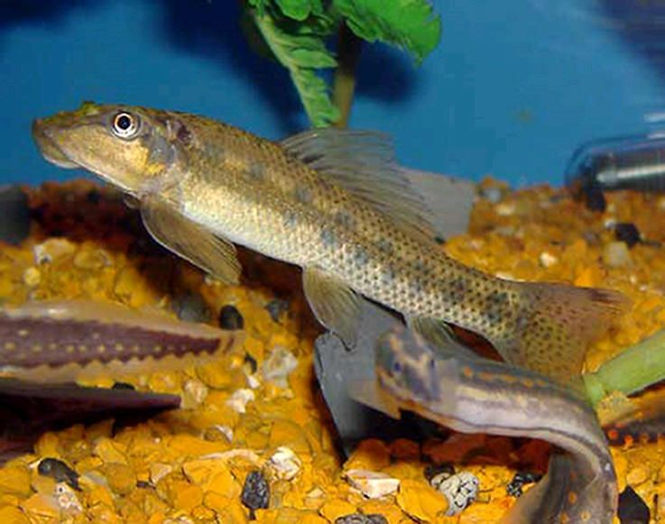 11 Best Algae Eaters Freshwater Tank Will Clean Your Aquarium Best Eater Algae