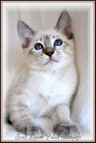 Long Hair Russian Blue Cat Paintings