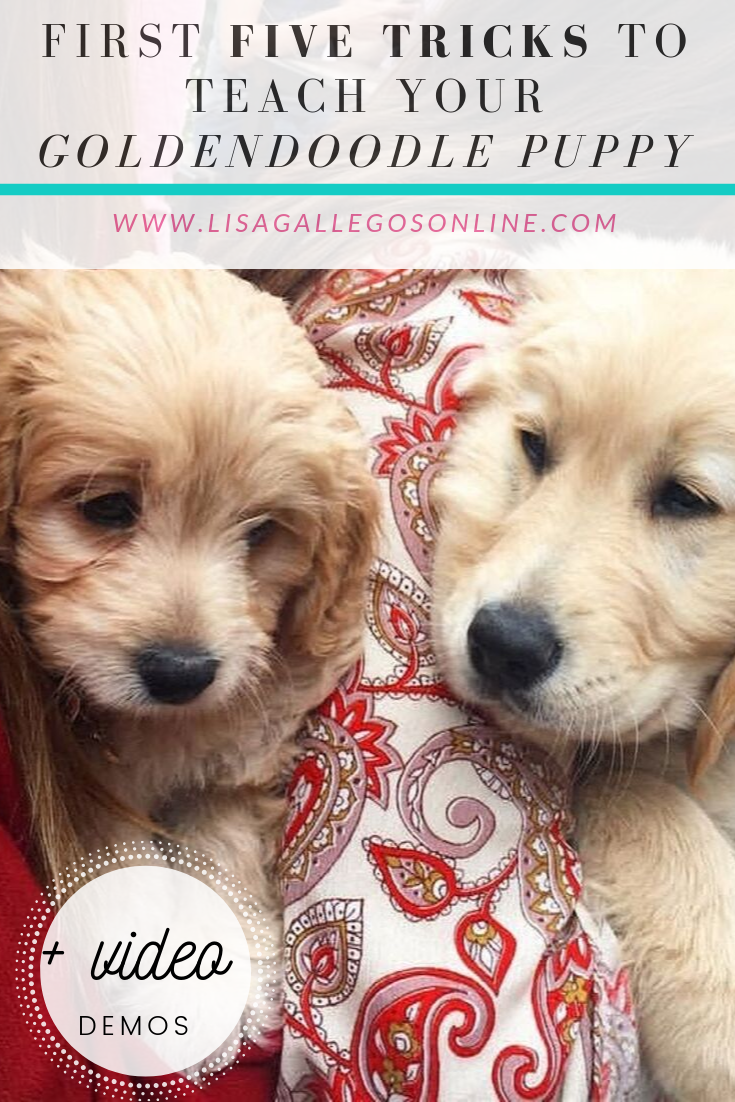 Goldendoodle Puppy Training First 5 Tricks To Teach Your New