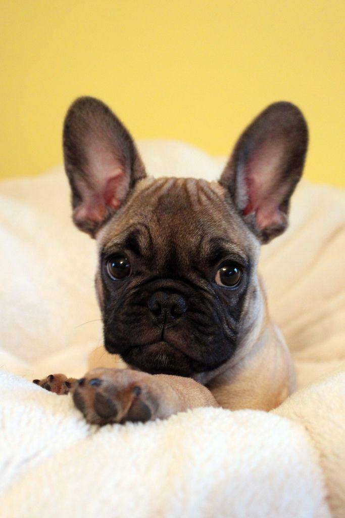Duncan French Bulldog Puppy French Bulldog Bulldog Bulldog