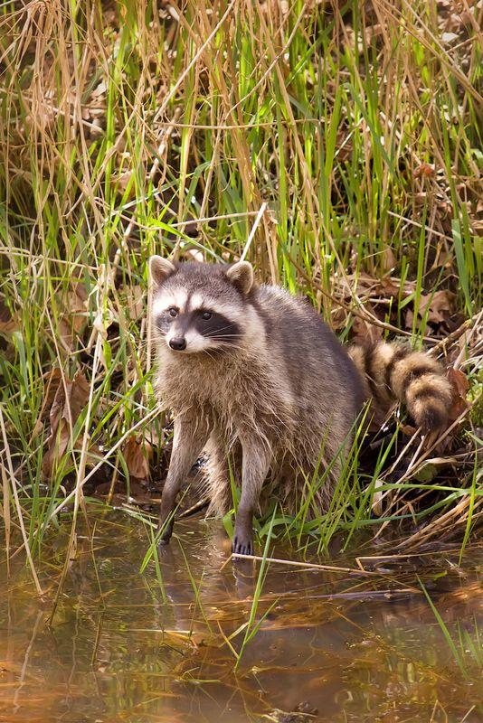 Racoon In Nisqually National Wildlife Refuge Raccoon Cute Raccoon Animals