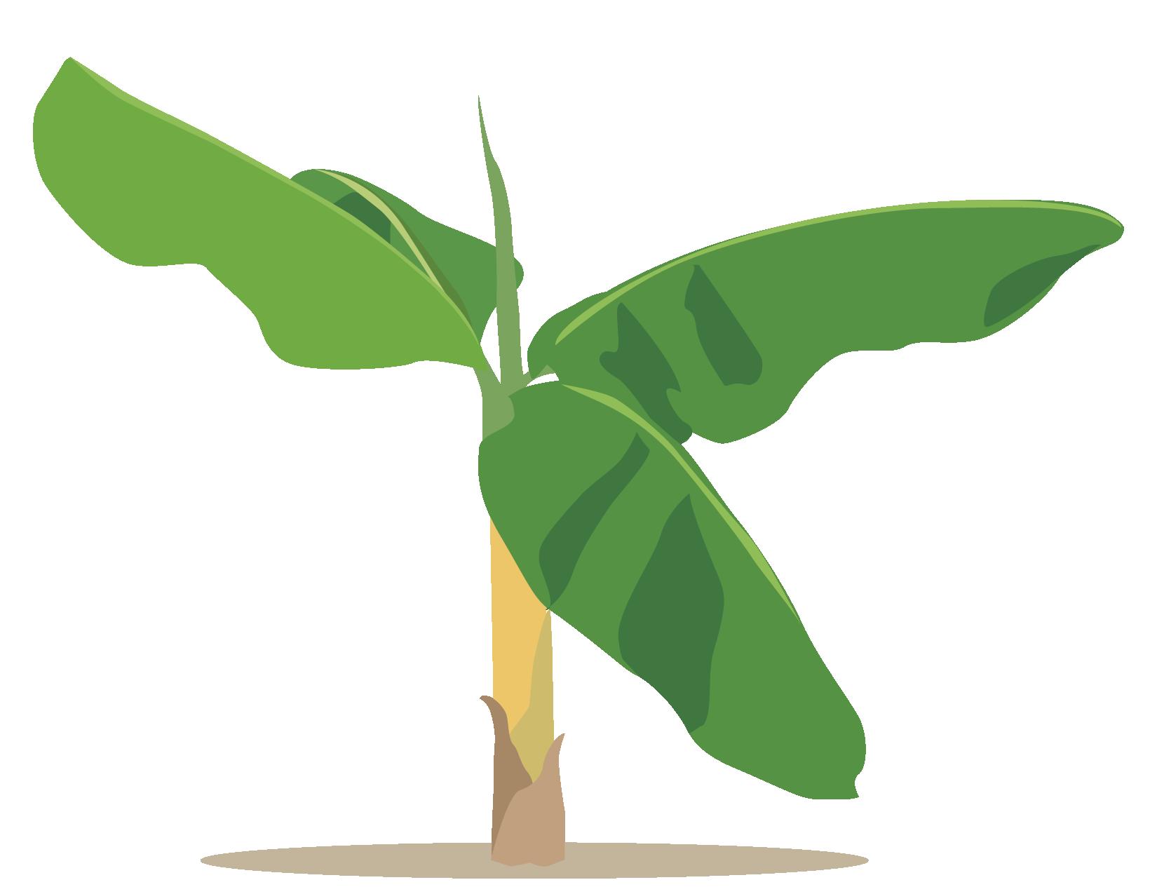 Dibujo 02 Matita De Platano Lgallp Banana Wallpaper Plant Leaves Plants