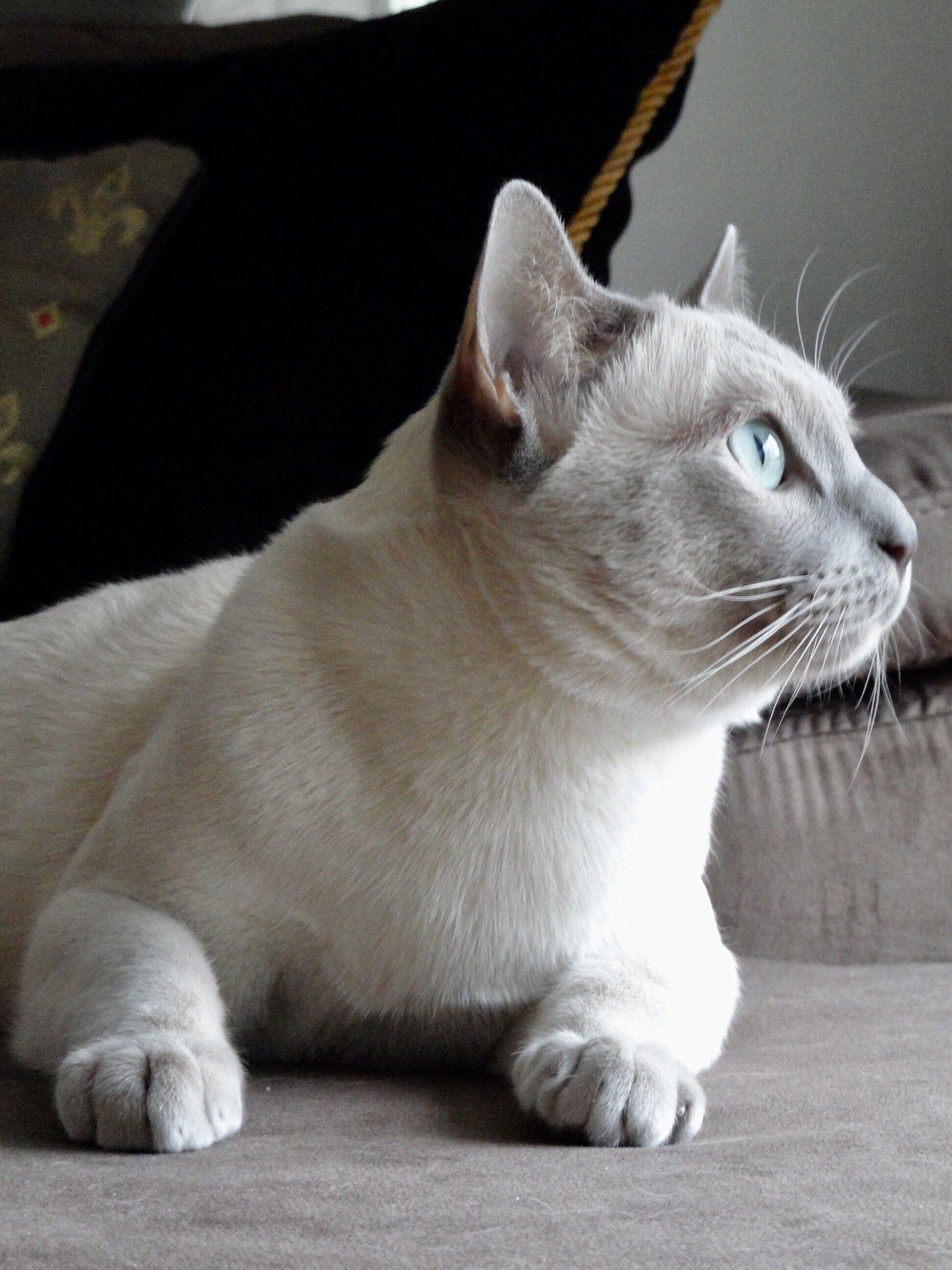 Juno Platinum Point Tonkinese Tonkinese Cat Tonkinese Feline