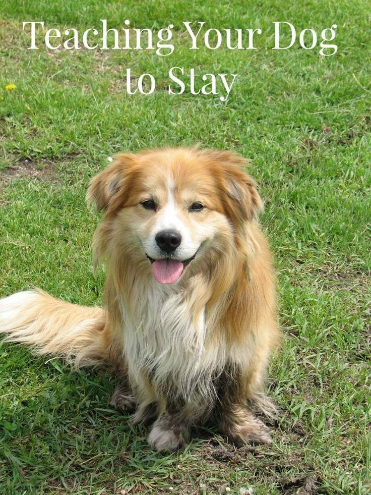 Dog Training Tips Teaching Your Dog To Stay Dog Training Dog