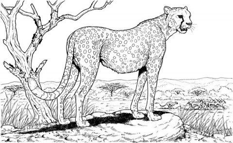 Cheetah Animal Coloring Pages Adult Coloring Pages Cat