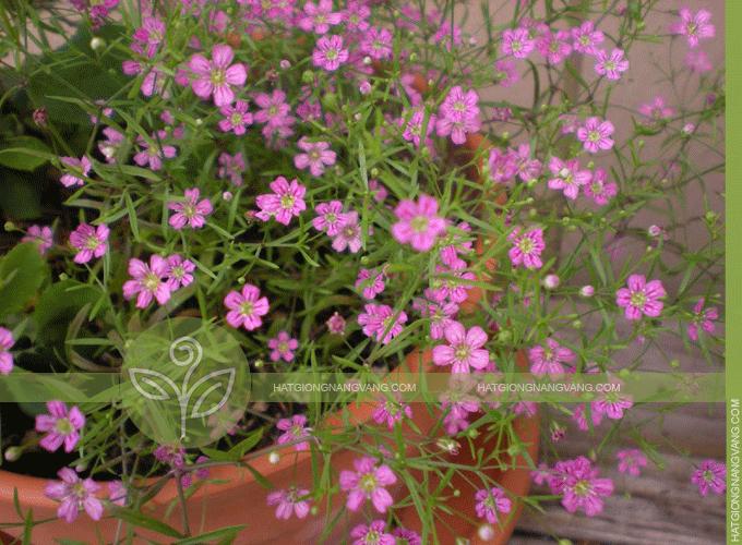 Bán hạt giống hoa baby hồng giá rẻ -Hướng dẫn cách trồng ...