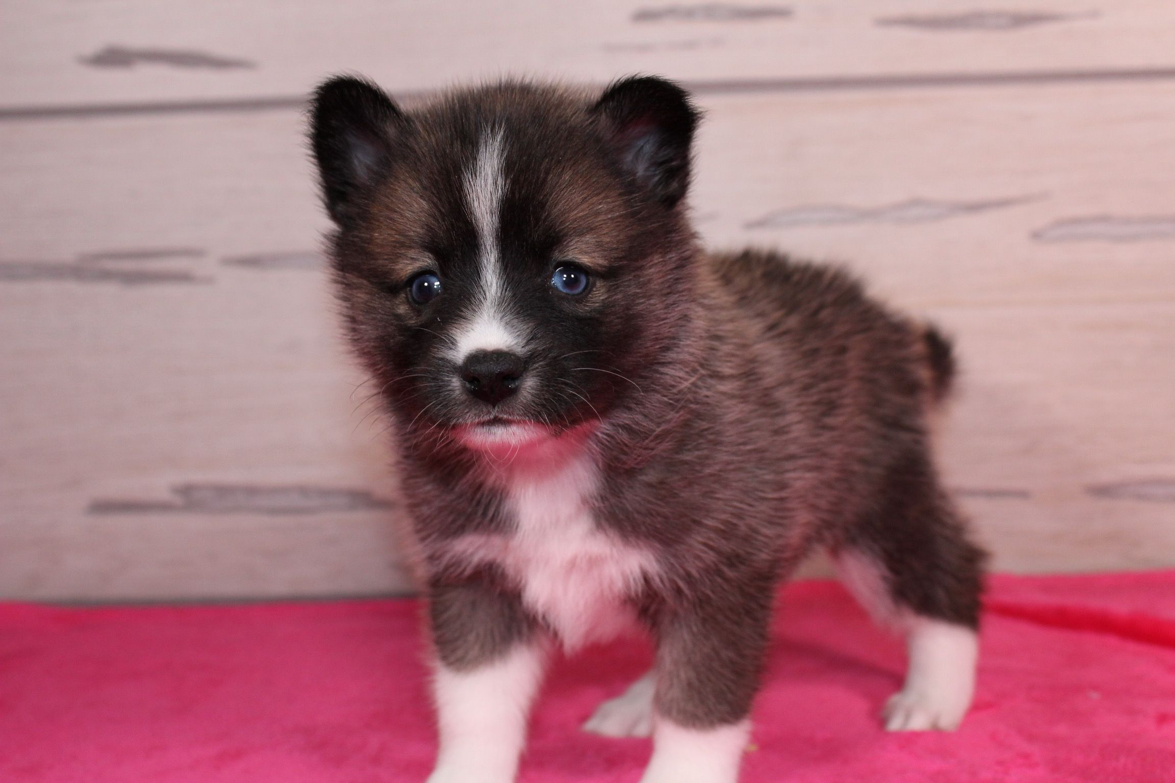 Lindsey A Female Pomsky Puppy In Nappanee Indiana For Sale Find Cute Pomsky Puppies And Responsible Pomsky Breeders At V Puppies Puppies Near Me Puppy Care
