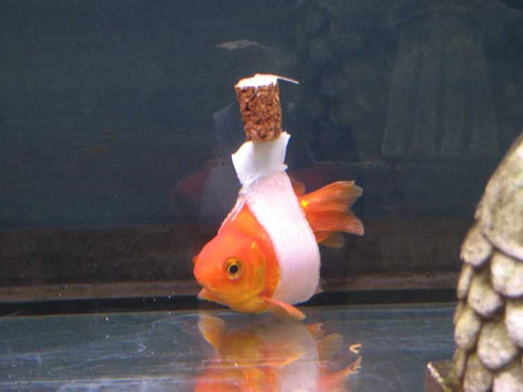 Twitter Goldfish Animals Cute Animal Pictures
