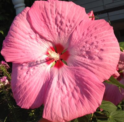 This Gorgeous Hibiscus In My Perennial Garden Measures Just Under 12