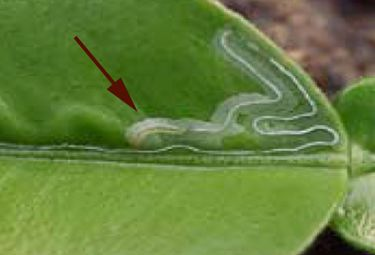 Citrus Leafminer Phyllocnistis Citrella Overview Is A Common Pest For Nearly All Growers