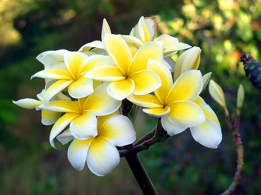 samoan flowers Google Search Tahiti, Flowers, Tropical
