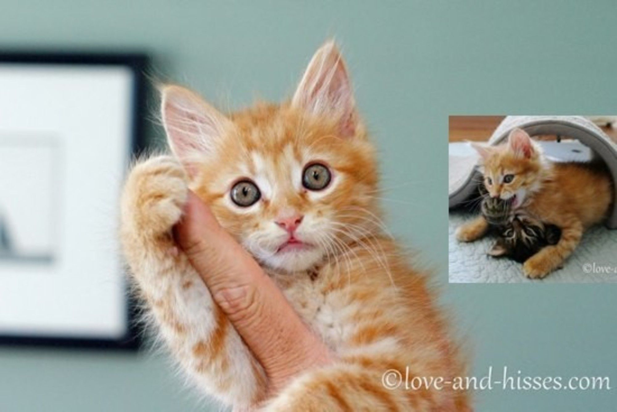 When A Rescue Ginger Kitten Who Desperately Needed Friends Was Introduced To A Litter Of Kittens He Became The Ha Ginger Kitten Kittens Cutest Kitten Rescue
