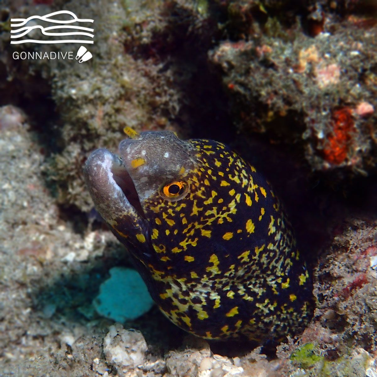 The Snowflake Moray Eel Also Known As Clouded Or Starry Moray Is One Of The Most Beautiful Morays It Can Grow Marine Life Photography Marine Life Moray Eel